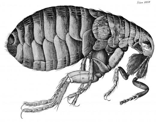 An Adult Flea