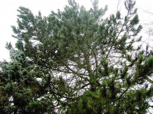 Pine trees are common place in gardens