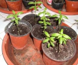 Milkweed baby plants