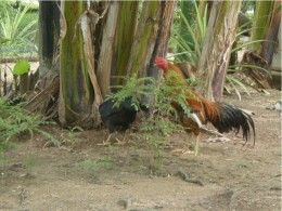 Free ranging domestic chicken in rural villages.