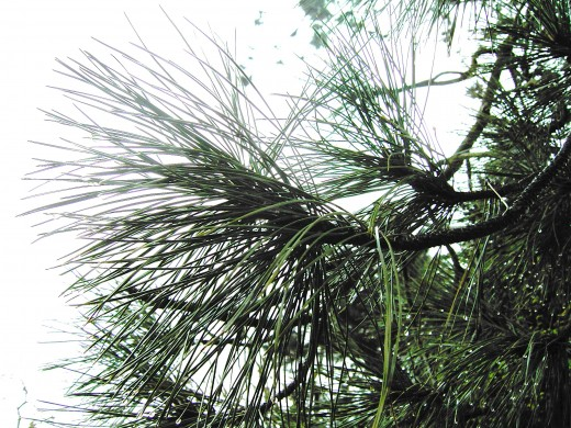 THE NEEDLES OF THE SCOTS PINE