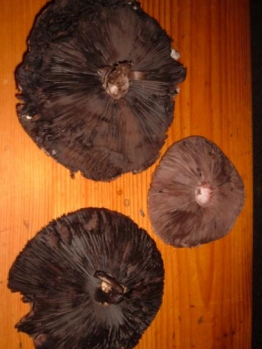 Wood Mushroom caps showing dark gills. Photo by Steve Andrews