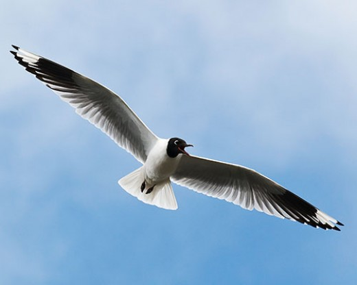 Andean Gull (Chroicocephalus serranus) Photo: Steven L. Herrmann