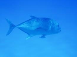 Ulua in the deep blue sea.