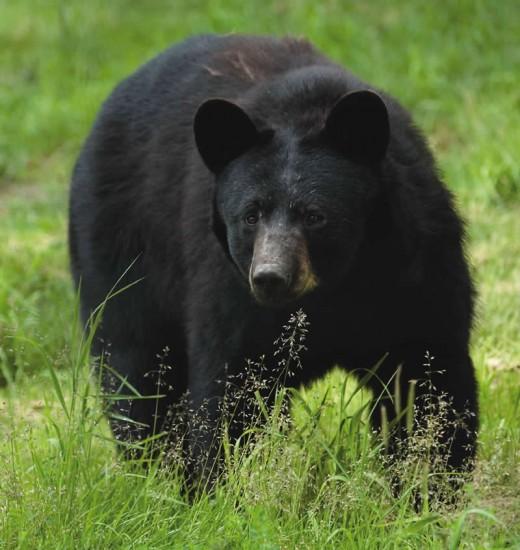 A New Jersey bear.