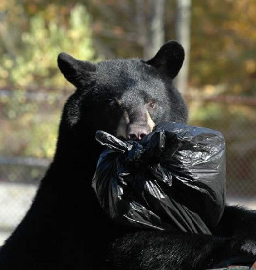 A New Jersey bear in dumpster.