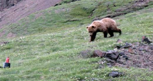 Bear approaching a BRFC