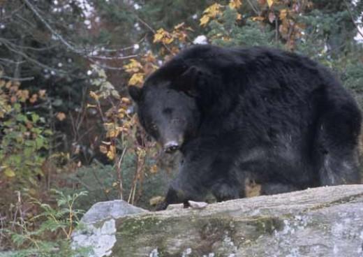 New York bear.