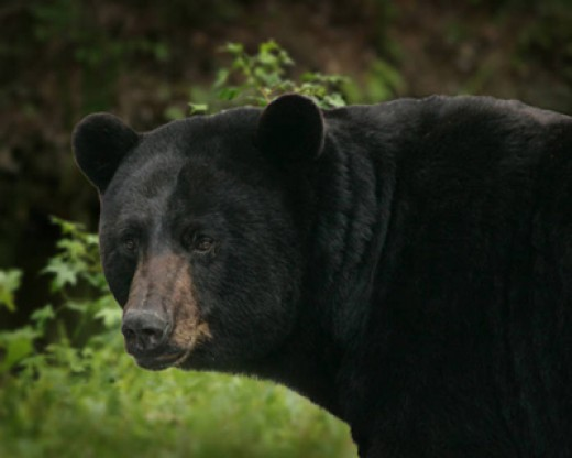 Wisconsin bear.