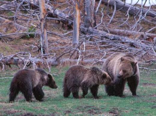 Bears ~ Photographer: Kim Keating , U.S. Geological Survey