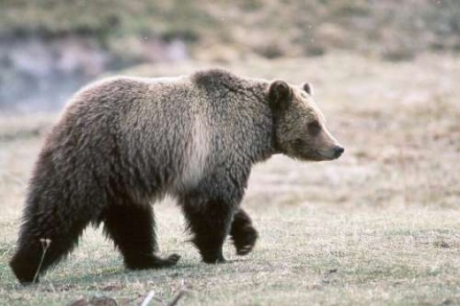 Bear ~ Photographer: Kim Keating , U.S. Geological Survey