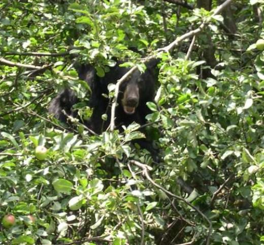 Bear ~ Photographer: Cynthia L. Cunningham, , U.S. Geological Survey