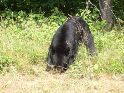 Bear ~ Photographer: Cynthia L. Cunningham, , U.S. Geological Survey