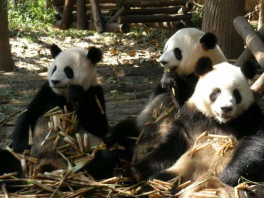 Panda bears at mealtime.