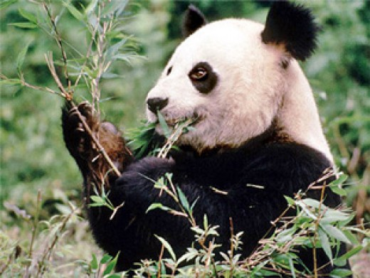 Giant panda bear discovered in China.