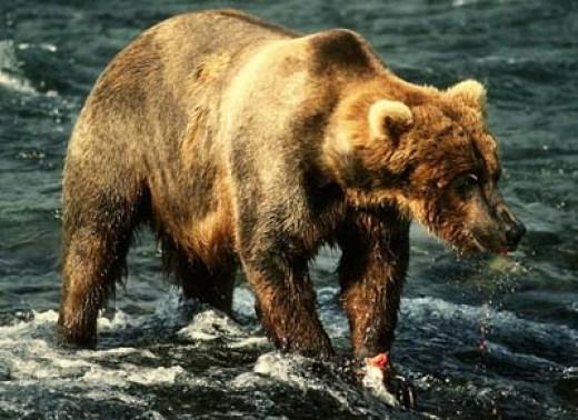 Corel grizzly bear.