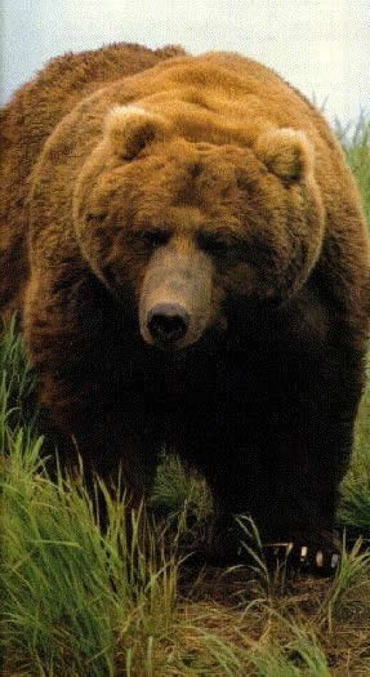 Large brown grizzly bear.