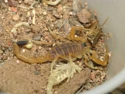 Deathstalker Scorpion
