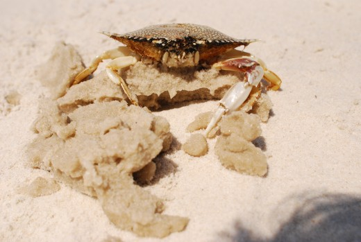 Some crabs had oil stuck to their shells.