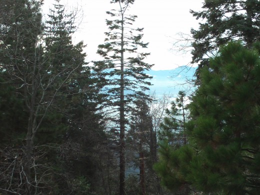 A tall evergreen tree as seen from Highway 18.