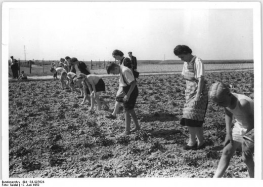 Combatting Colorado potato beetle in 1950