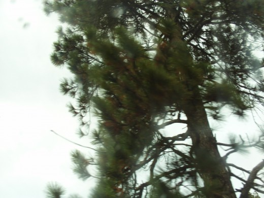 Picture of a pine tree on the way down the mountain.