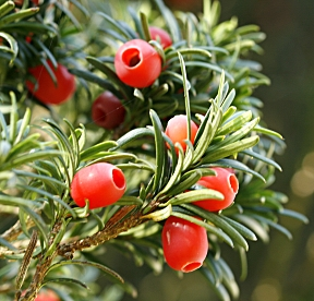 The female cones of Pacific yew look like berries. The male cones are smaller, globular and yellow.
