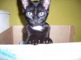 My kitten: Tuxedo