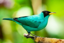 Green Honeycreeper - Colorful Bird in the Tropical Rainforest
