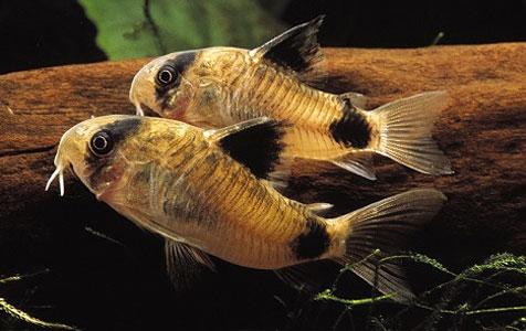 Panda catfish(Corydoras panda )