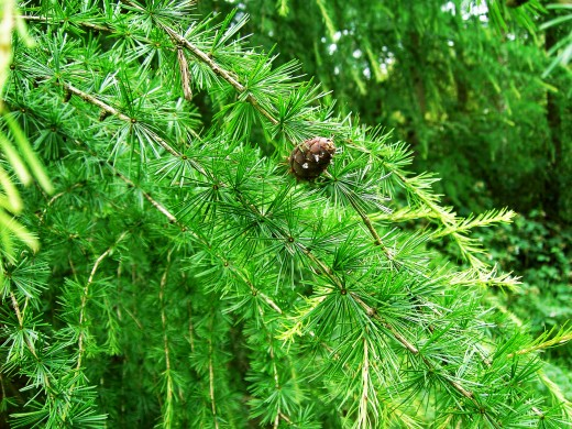 The summer foliage and cone of the European Larch.
