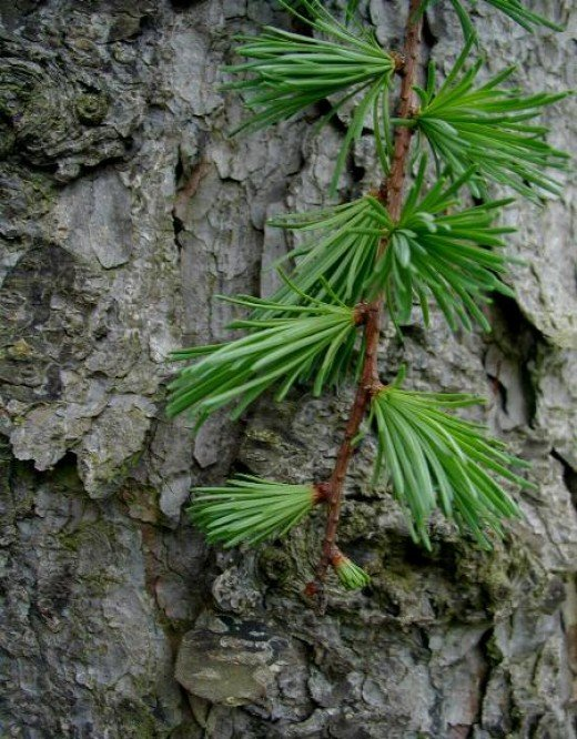 THE NEEDLES AND BARK OF THE  JAPANESE LARCH
