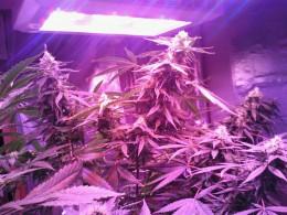 Nice LED Grow