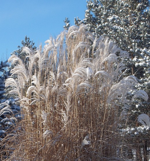 A SNOWY JAPANESE SILVER GRASS