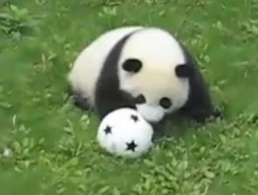Panda cubs playing