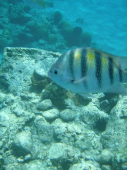 Sergeant major fish in the boat-free area on the reef off Anse Chastanet headland, Saint Lucia