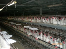 Thousands of chickens that never see the light of day, crammed together in cages, poop dropping on each other is how our egg-laying hens live.