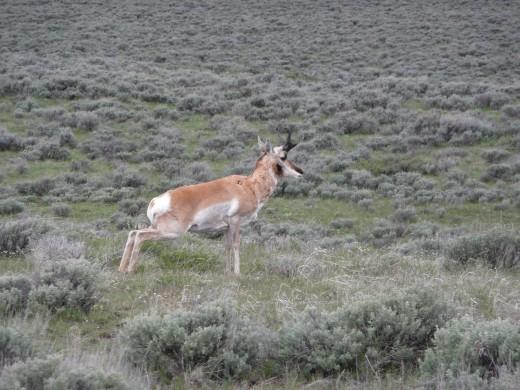 Antelope Taking a Pee Break!