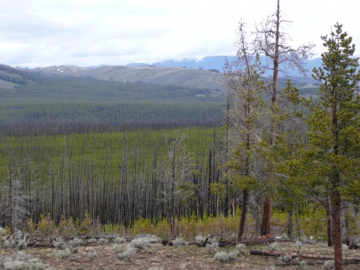 Yellowstone Park Views - Charred Trees from 80's Wildfire