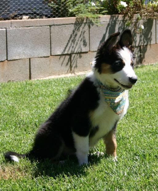 tricolor border collie puppy
