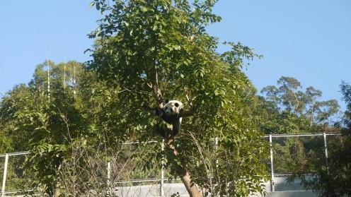 See the Panda Bear?