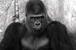 Gorillas don't have a sense of humor.