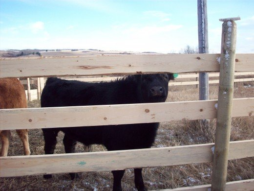Last year's 4H calf