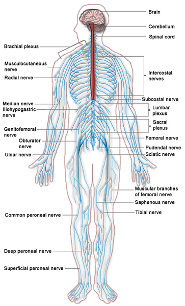 The central nervous system or CNS.
