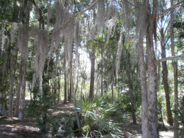 Some Beautiful and Mysterious Spanish Moss Rains Down on the Beaches of Fort Wilderness