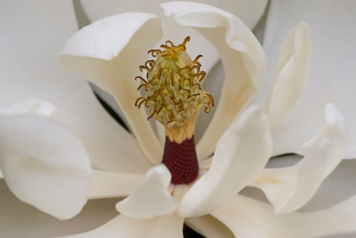 Notice the detail in this magnolia macro photo. This is very hard to achieve with a normal non-macro lens.