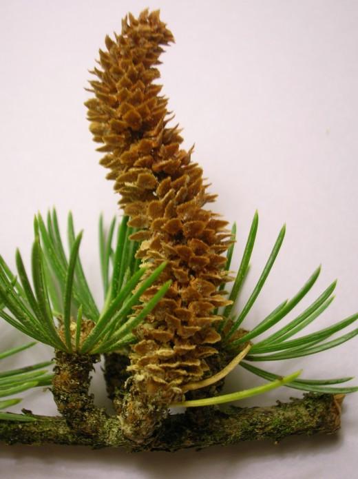 male cone cedar of Lebanon