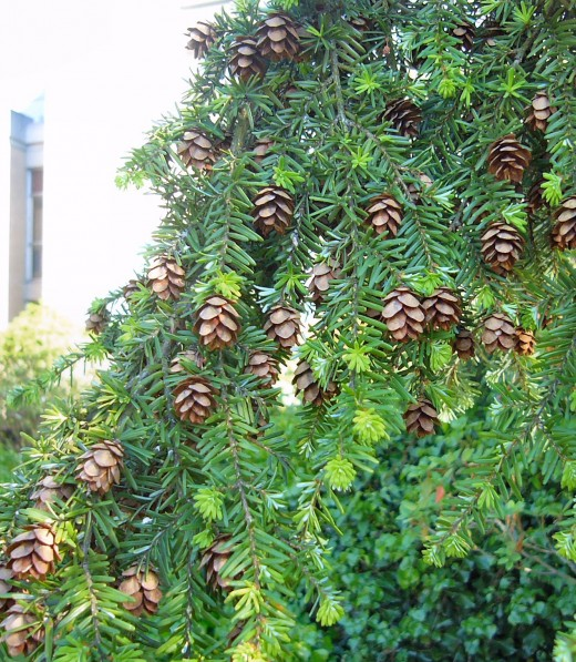 Western Hemlock branches and cones