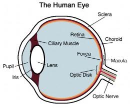 Human Eye - Cross Section