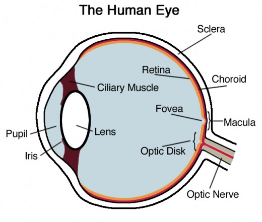 Human Eye - Cross Section